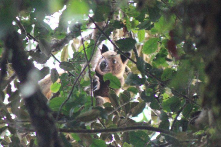 Canguro Wondiwoi de árbol