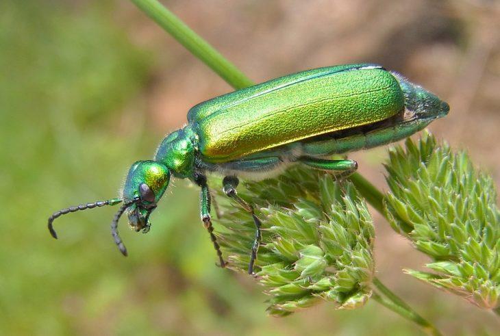 Escarabajo afrodisiaco