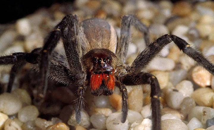 Araña errante brasileña