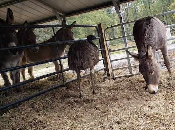 Burro y emú
