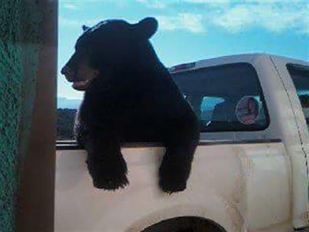 Oso en camioneta