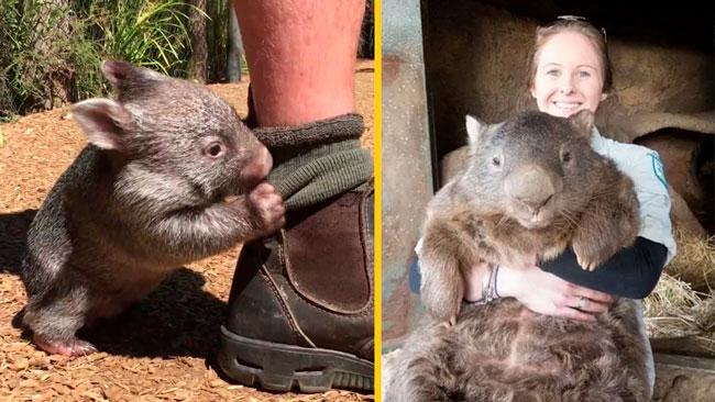 pequeños humanos wombats