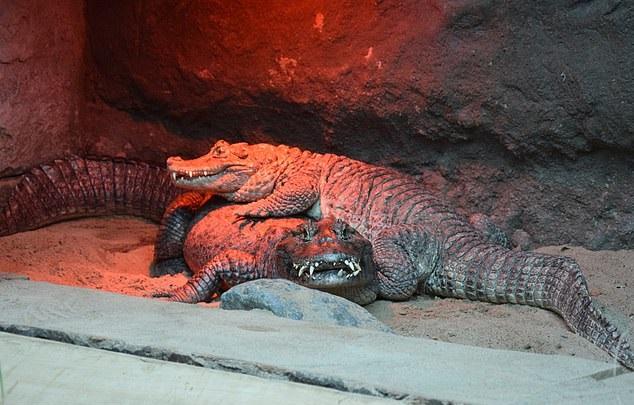 cocodrilo pene pequeño