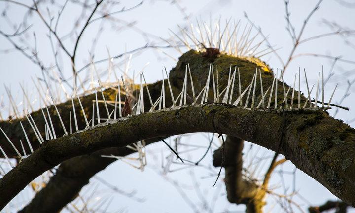 árboles con púas