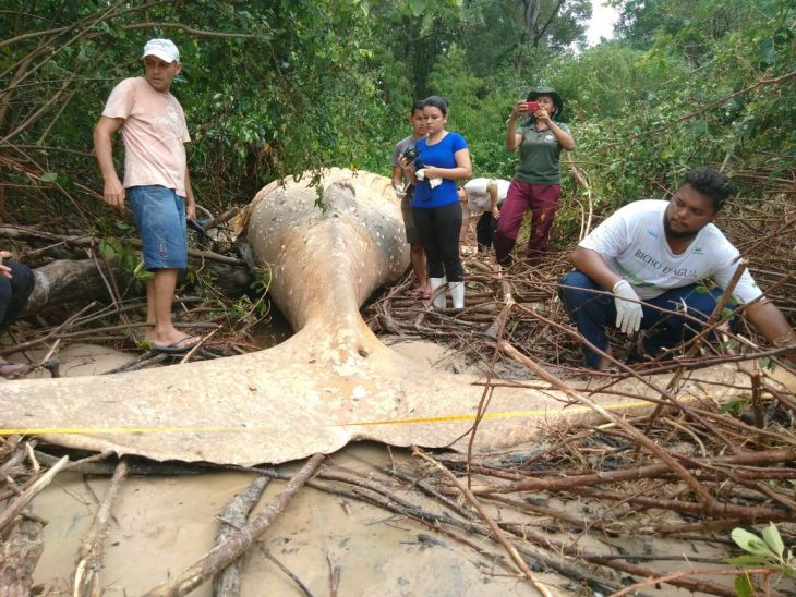 Ballena muerta en Brasil