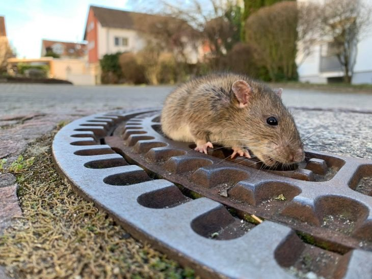 Rata atorada