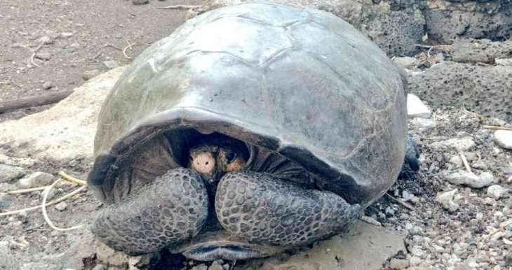 Tortuga Chelonoidis Phantasticus