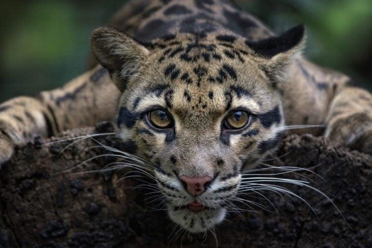 Leopardo nublado de formosa