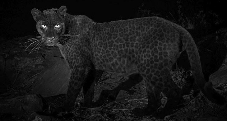 Leopardo negro africano