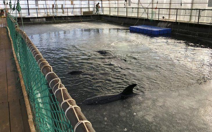 Orca en Rusia