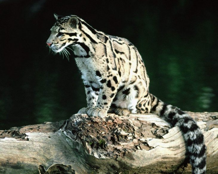 Leopardo nublado