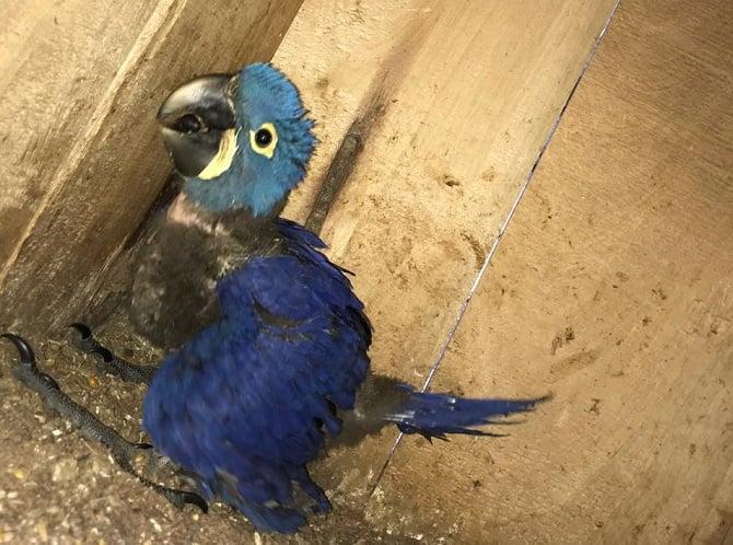 Pichón de guacamayo azul