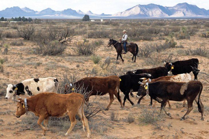 vacas mexico
