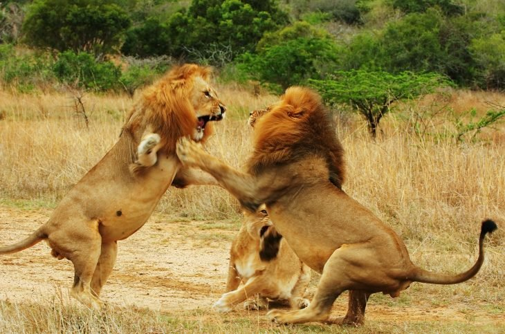 leones luchando