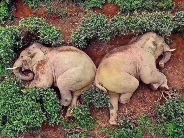 elefantes borrachos
