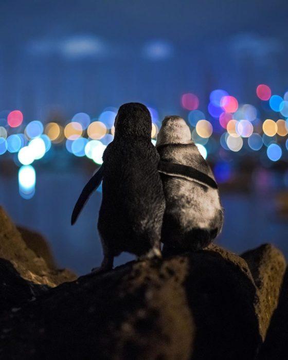 pinguinos viudos