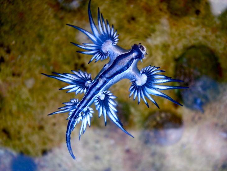 Dragones azules