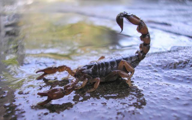 Escorpión en agua