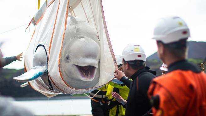 beluga-ballenas
