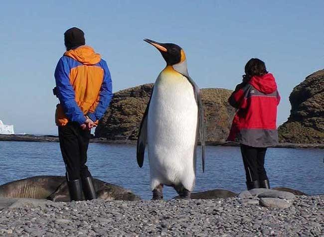 pinguinos gigantes