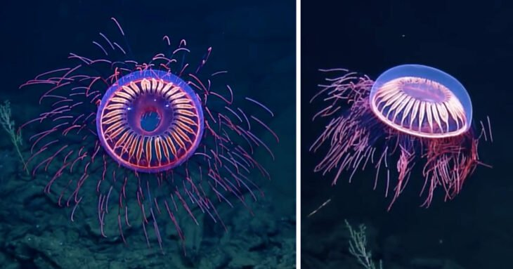 medusas de aguas profundas