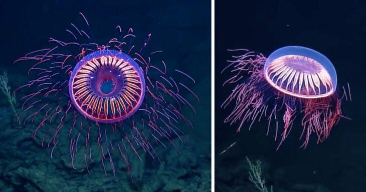 medusas de agua profunda