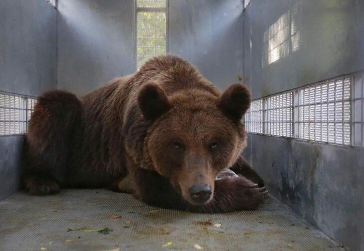 oso en cautiverio