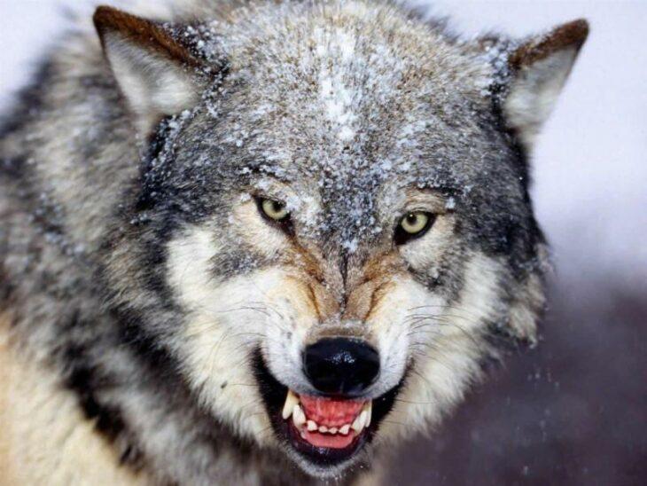 lobo enojado