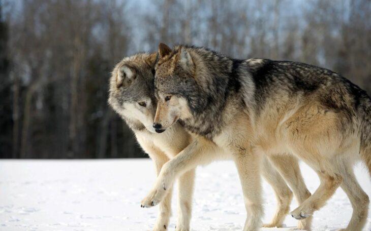 pareja lobos