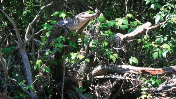 cocodrilo trepa árboles