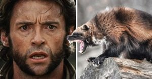 Hugh Jackman revela que no sabía en qué animal estaba inspirado Wolverine… ¿Ustedes?