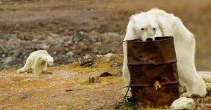 El VIDEO de un oso polar moribundo se vuelve viral y muestra todo lo que está mal con el mundo