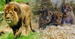 """Estupidez humana: zoológico mata a 9 cachorros de león sanos porque había """"sobrepoblación"""""""