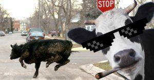 Vaca escapa del matadero, golpea a granjeros y huye a una isla; lleva 1 mes prófuga